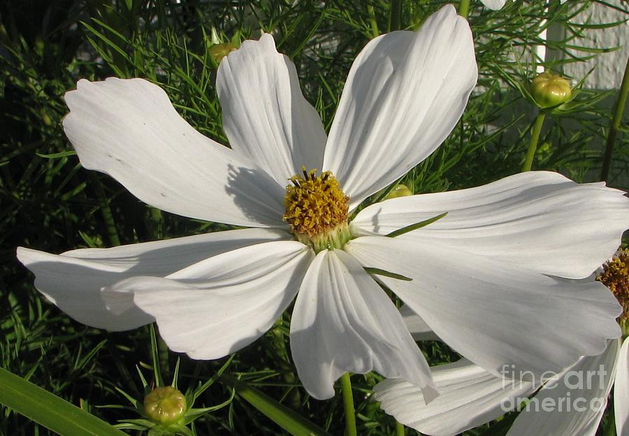 White Summer Splendor  Photograph