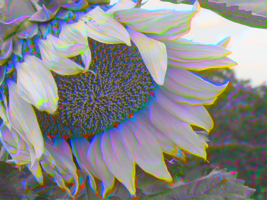 White Sunflower Photograph  - White Sunflower Fine Art Print