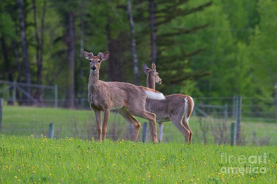 White Tail Deer Photograph