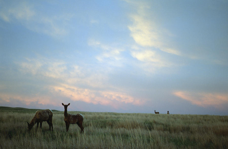 White-tailed Deer On The Prairie Photograph