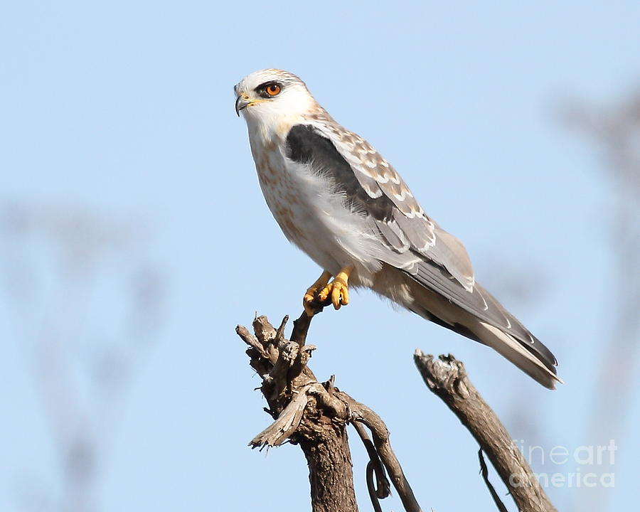 White-tailed Kite Hawk Perched . 7d11090 Photograph  - White-tailed Kite Hawk Perched . 7d11090 Fine Art Print