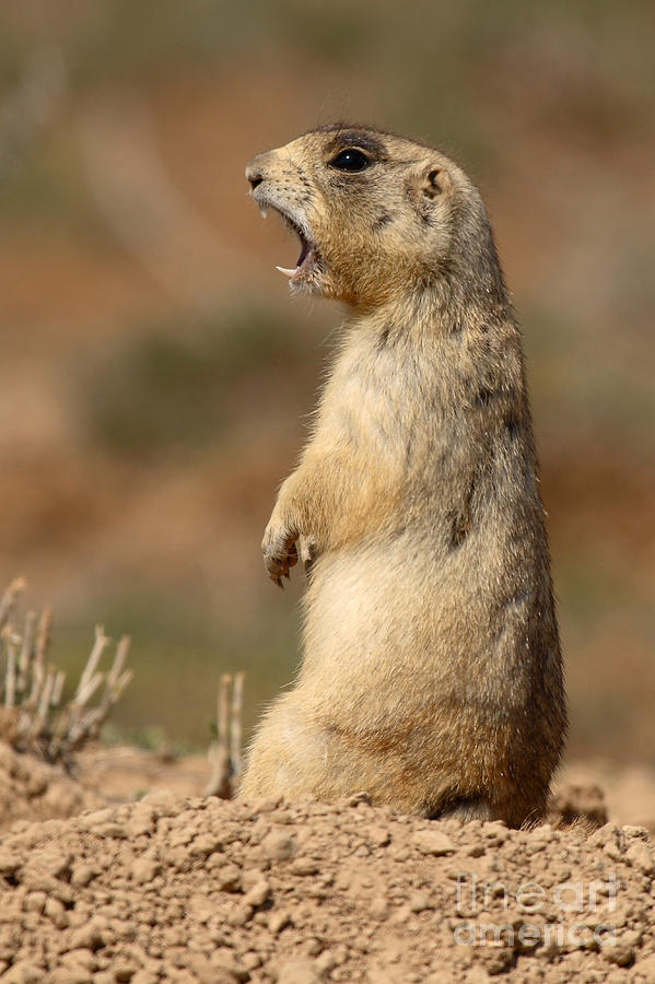 Black Tailed Prairie Dog Adaptations