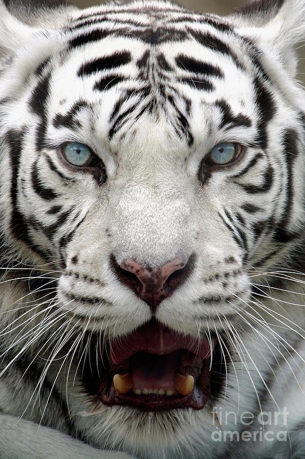 White Tiger Portrait Close Up Photograph