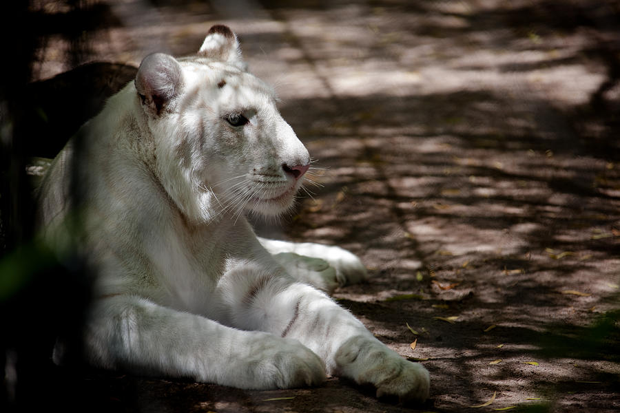 White Tiger Photograph