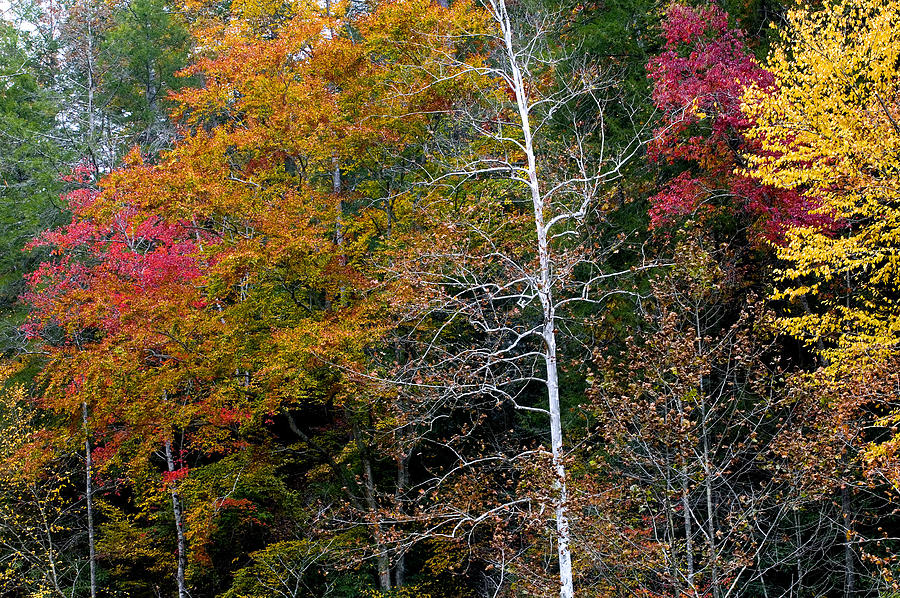 White Tree Fall Colors  Photograph