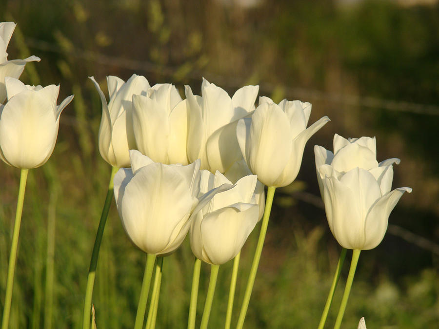 White Tulip Flowers Art Prints Spring Green Garden Photograph