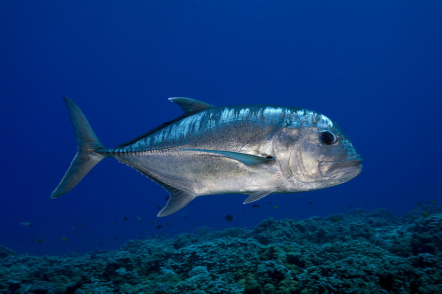 White Ulua Photograph By Dave Fleetham