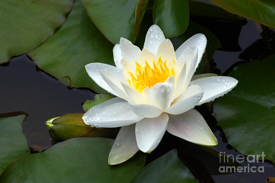 White Water Lily And Bud Photograph