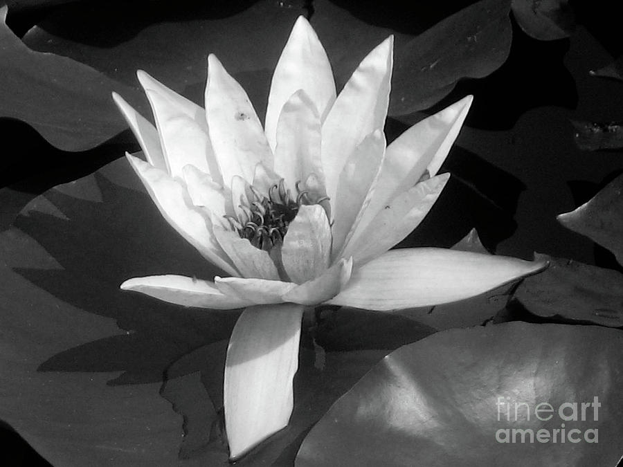 White Water Lily Pyrography  - White Water Lily Fine Art Print