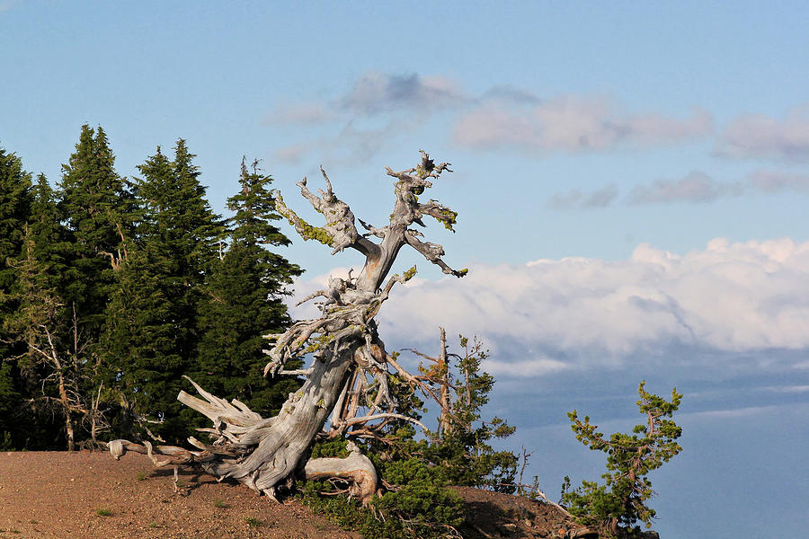 Whitebark Pine At Crater Lakes Rim - Oregon Photograph  - Whitebark Pine At Crater Lakes Rim - Oregon Fine Art Print