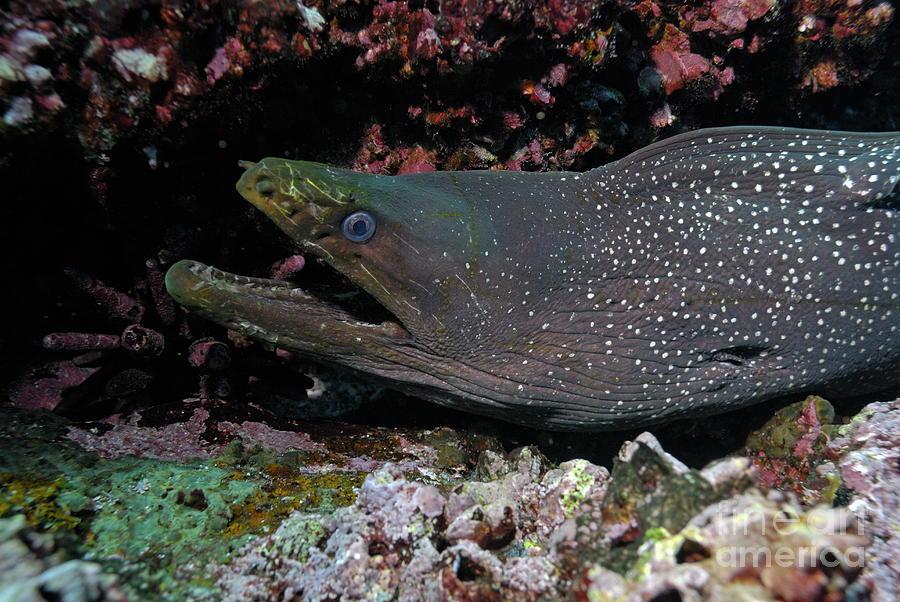 Aggression Photograph - Whitespotted Moray Eel by Sami Sarkis