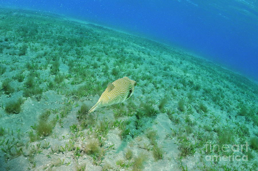 Whitespotted Pufferfish Photograph