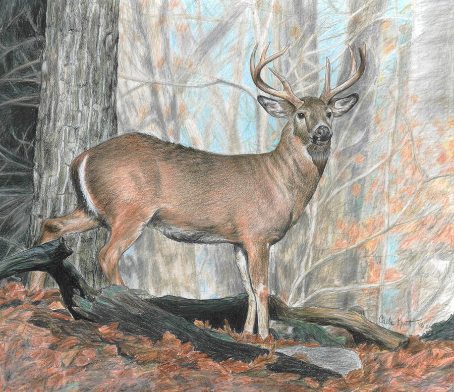Whitetail Buck Drawing