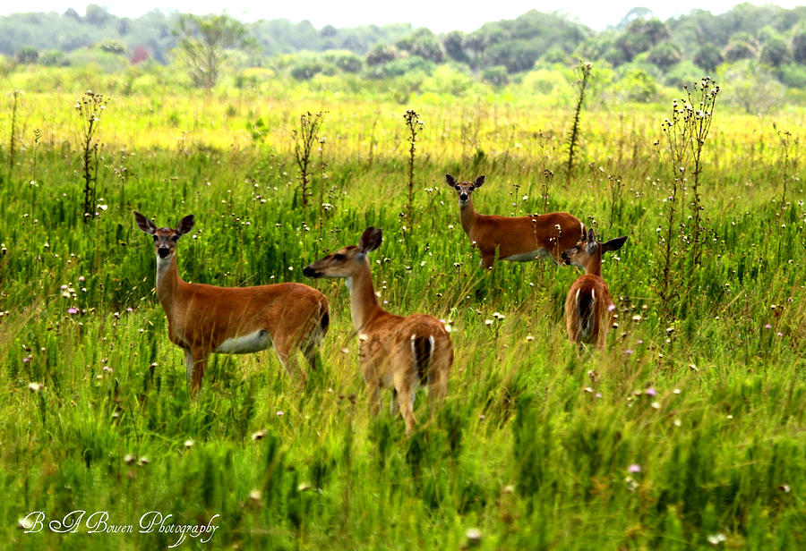 Whitetail Deer Family Photograph  - Whitetail Deer Family Fine Art Print