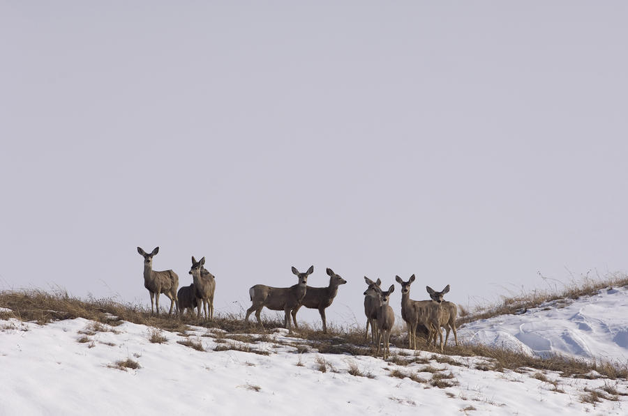Whitetail Deer In The Snow In Burwell Photograph