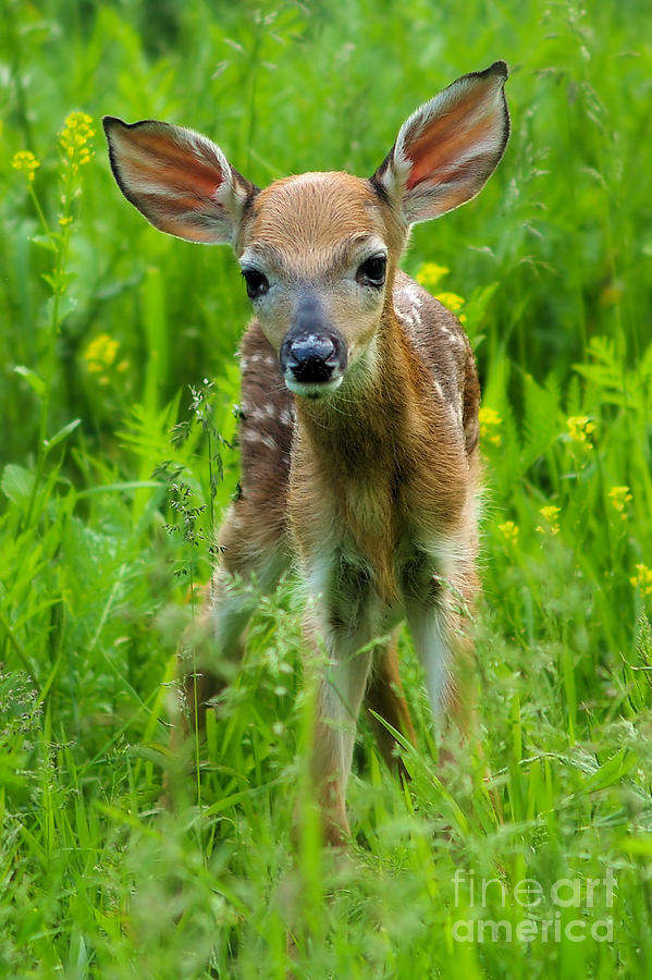 Whitetail Fawn IIi Photograph  - Whitetail Fawn IIi Fine Art Print