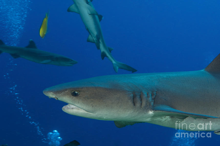 Whitetip Reef Shark, Papua New Guinea Photograph  - Whitetip Reef Shark, Papua New Guinea Fine Art Print