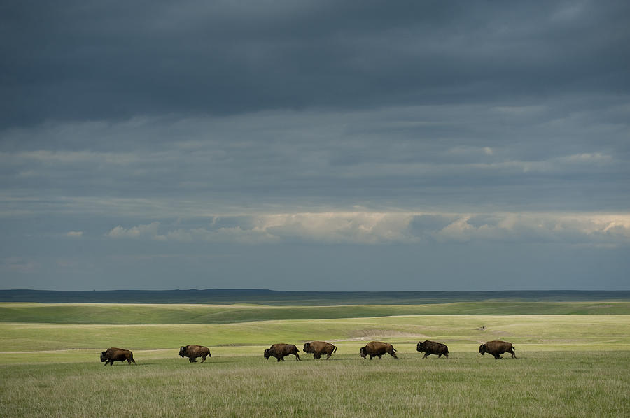 Wild American Bison Roam On A Ranch Photograph