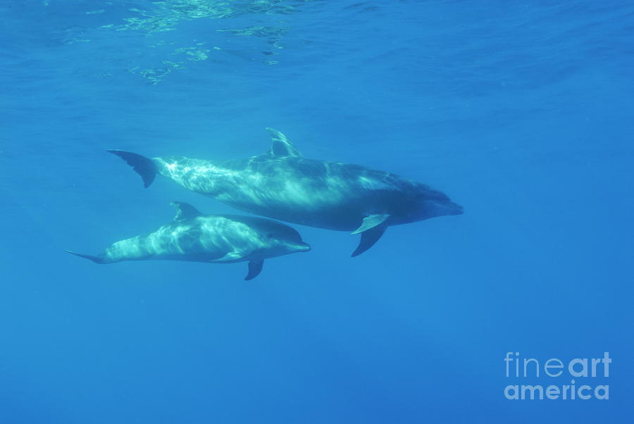 Wild Bottle-nosed Dolphin Mother And Calf Photograph