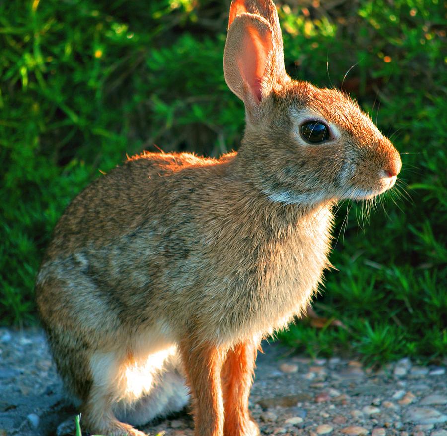 Wild Bunny Photograph