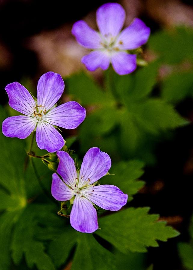 Wild Geranium Photograph