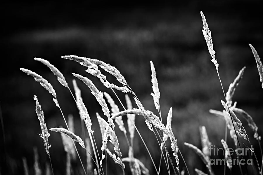 Wild Grass In Black And White Photograph