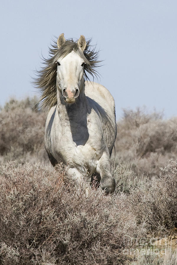 Wild Grey Stallion Runs Close Photograph  - Wild Grey Stallion Runs Close Fine Art Print