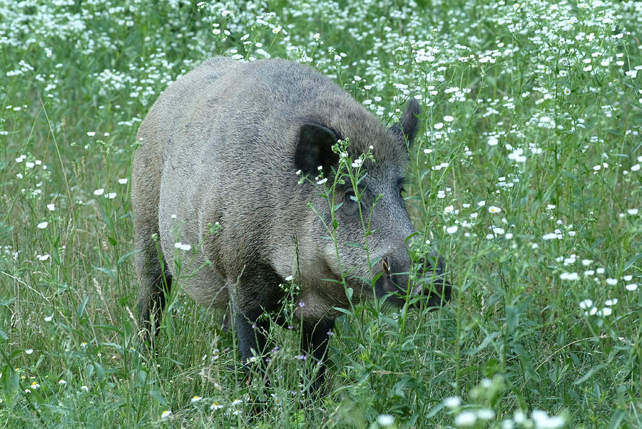 Wild Hog Between Flowers Photograph