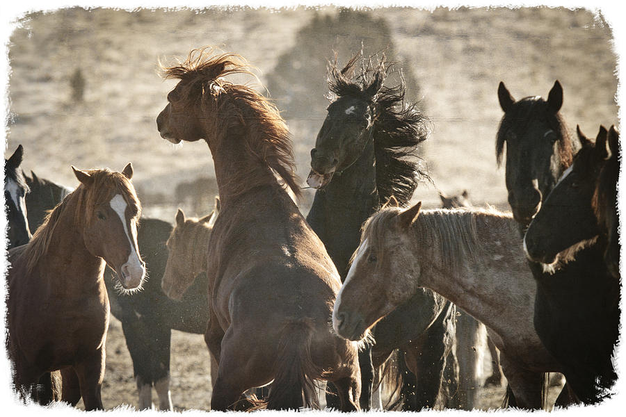 Wild Horse Battle D1713 Photograph