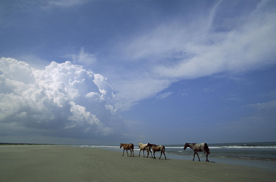 Wild Horses Roaming A Georgia Coast Photograph