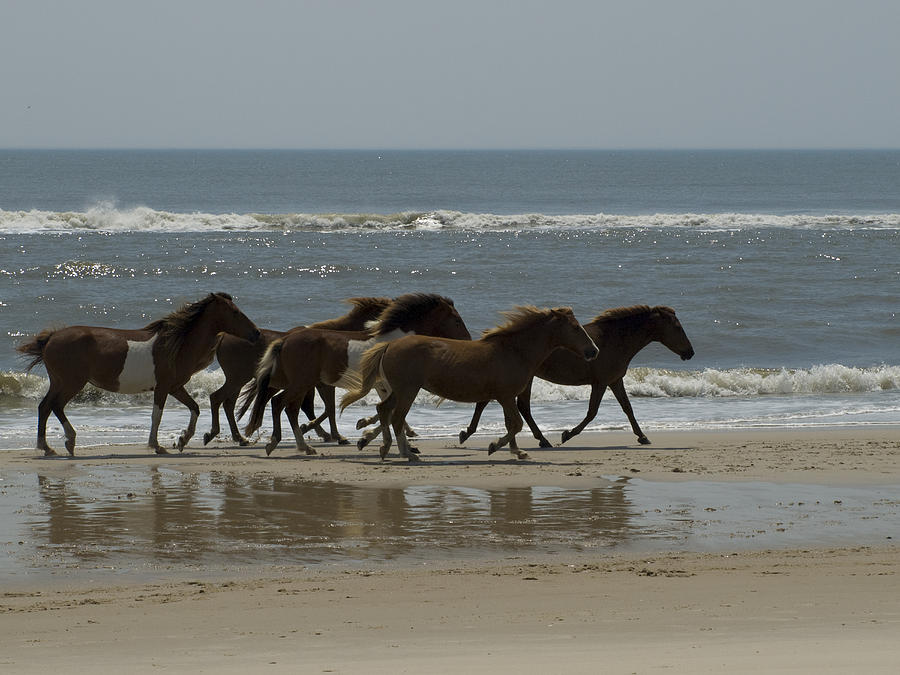 Wild  Horses Run On The Beach Photograph  - Wild  Horses Run On The Beach Fine Art Print