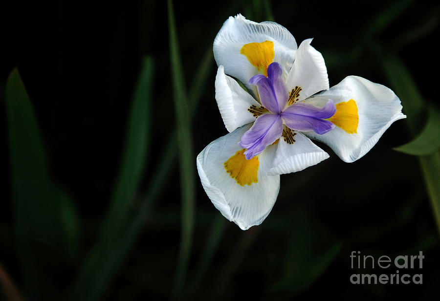 Wild Iris Photograph