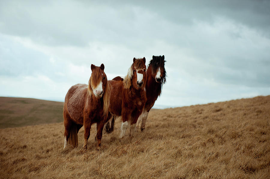 Wild Ponies In Welsh Countryside Photograph