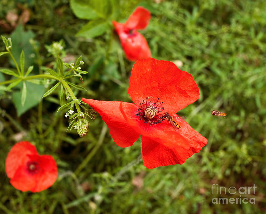 Wild Poppy Flower Photograph  - Wild Poppy Flower Fine Art Print