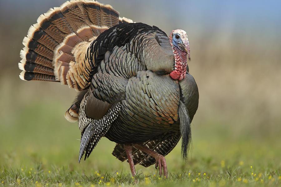 Wild Turkey Male In Courtship Display Photograph