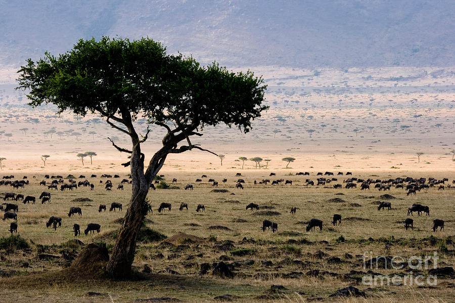 Wildebeest Connochaetes Taurinus Grazing Photograph