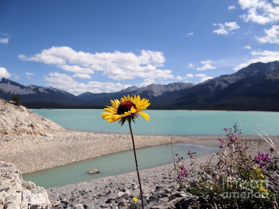 Wildflower At Abraham Lake Alberta Photograph  - Wildflower At Abraham Lake Alberta Fine Art Print