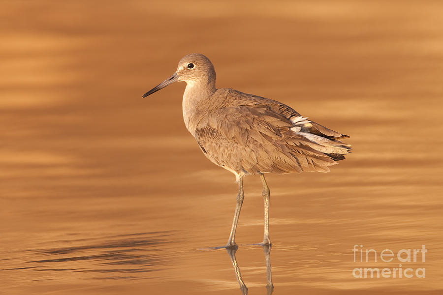 Willet Photograph  - Willet Fine Art Print