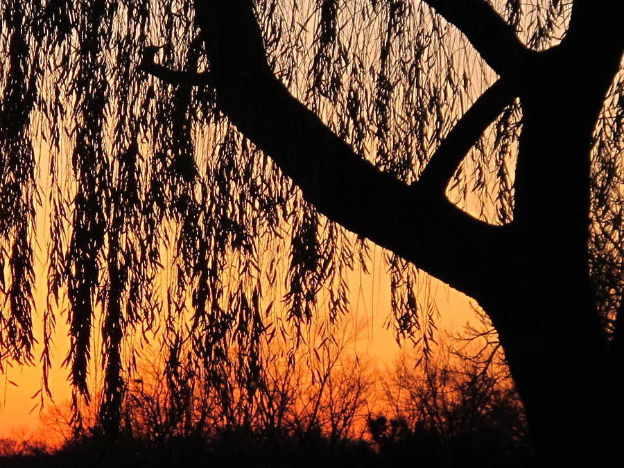 Nature Photograph - Willow At Sunset by Valia Bradshaw