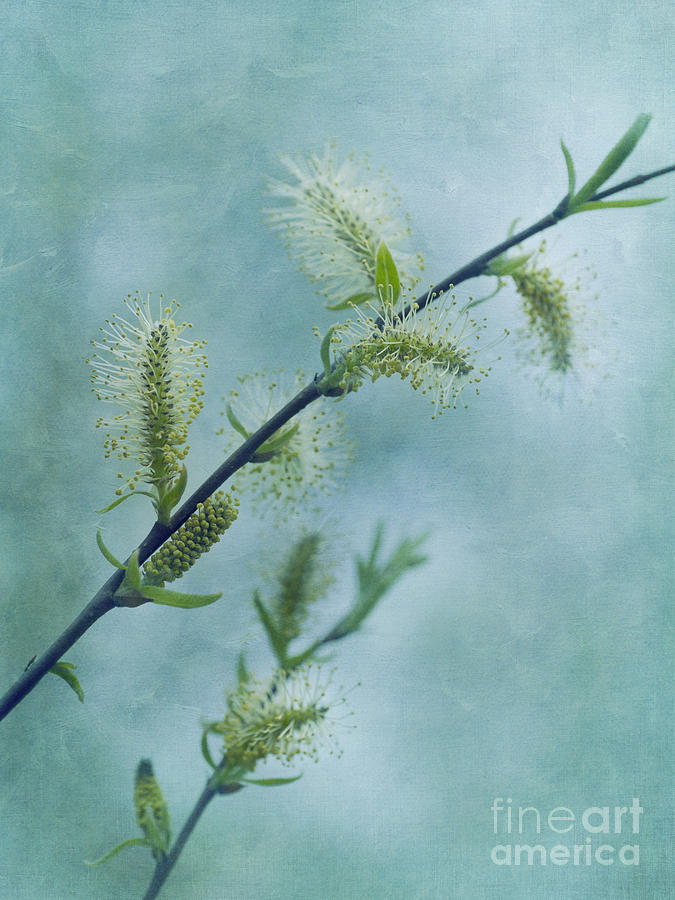 Willow Catkins Photograph