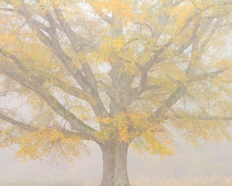 Willow Oak In Fog Photograph  - Willow Oak In Fog Fine Art Print