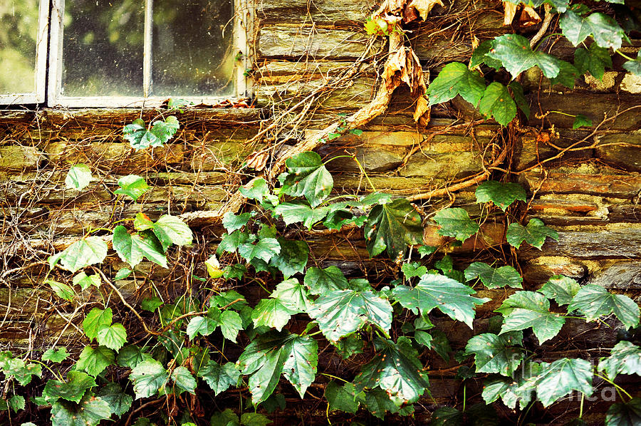 Window And Grapevines Photograph