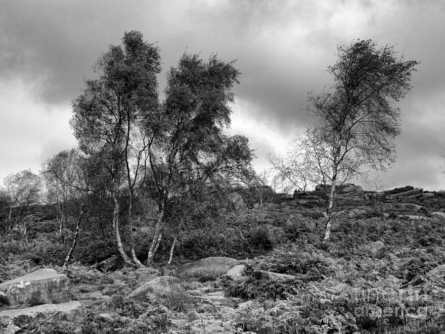 Windswept Birch Trees Photograph