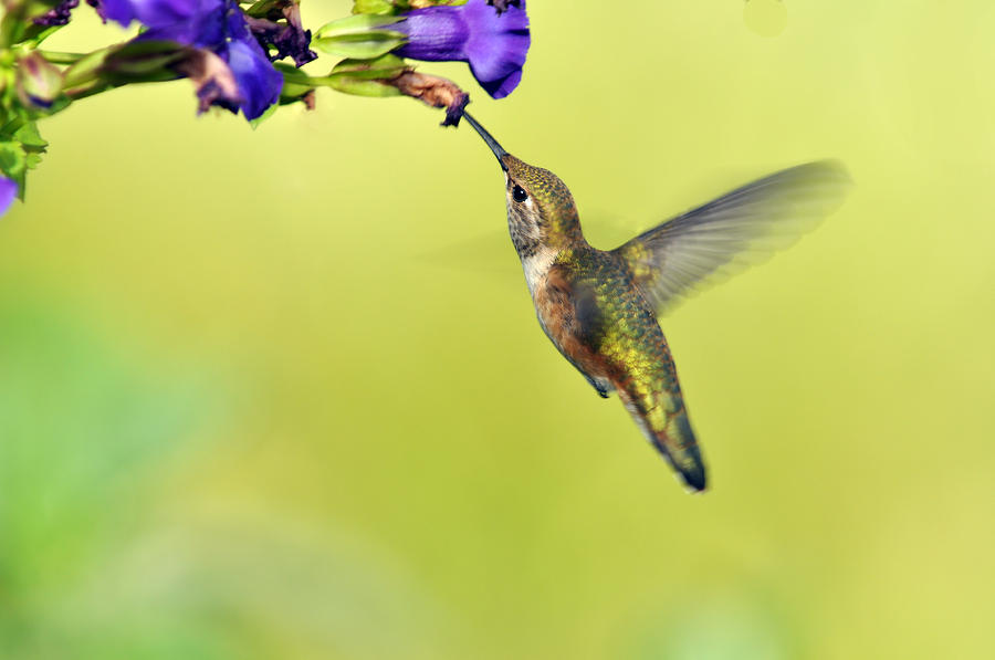 Winged Beauty A Hummingbird Photograph  - Winged Beauty A Hummingbird Fine Art Print