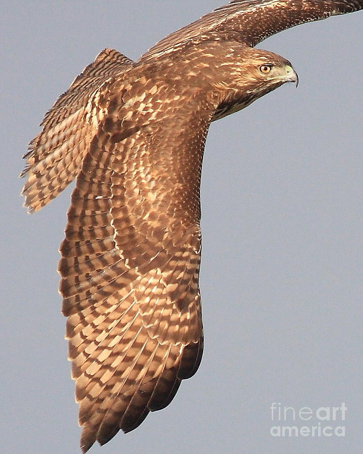Wings Of A Red Tailed Hawk Photograph