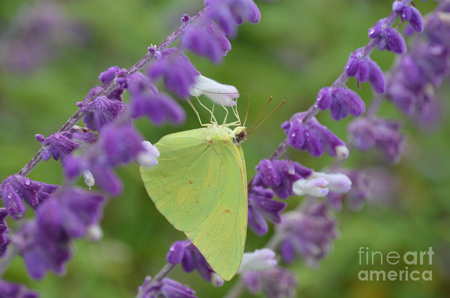 Yellow Butterfly Photograph - Wings Of Yellow by Kathy Gibbons