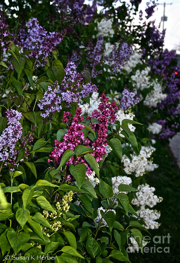 Lilacs Photograph - Winning Color by Susan Herber
