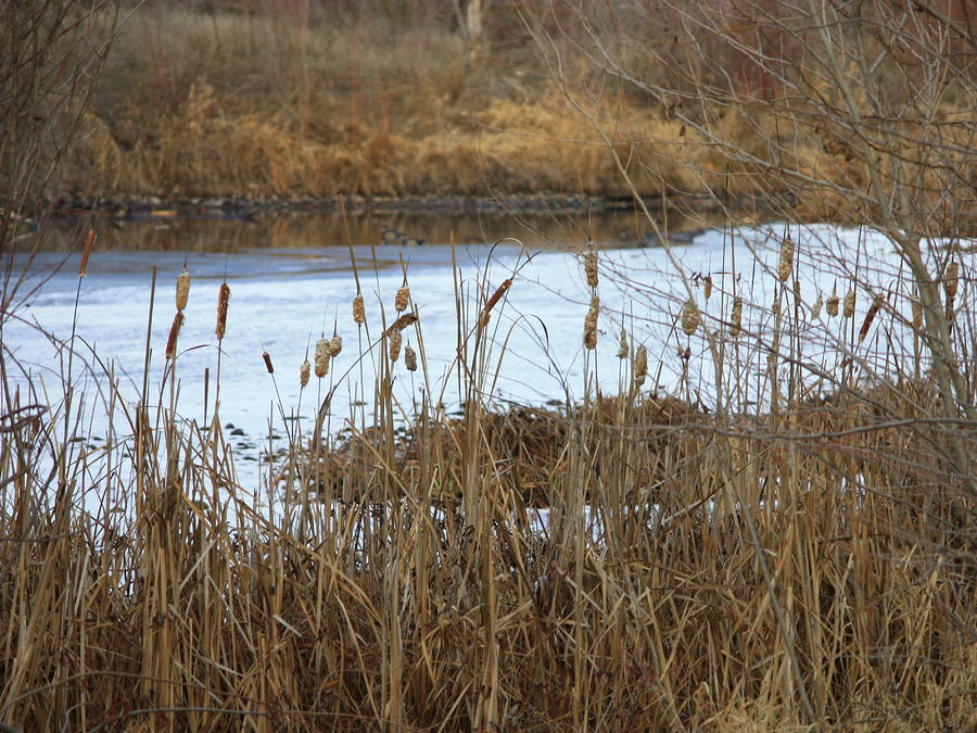 Winter Cattails  Photograph  - Winter Cattails  Fine Art Print