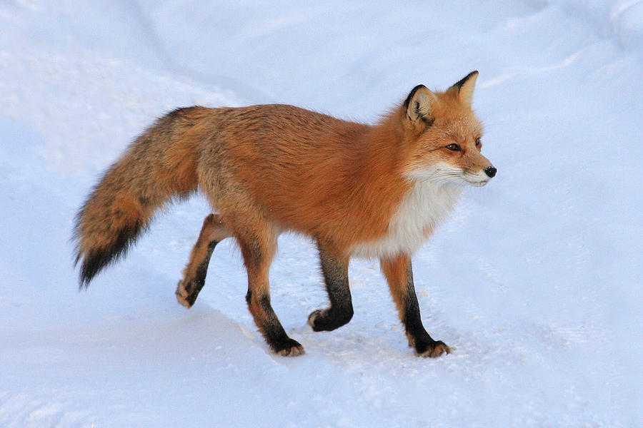 Winter Fox Photograph By Doris Potter