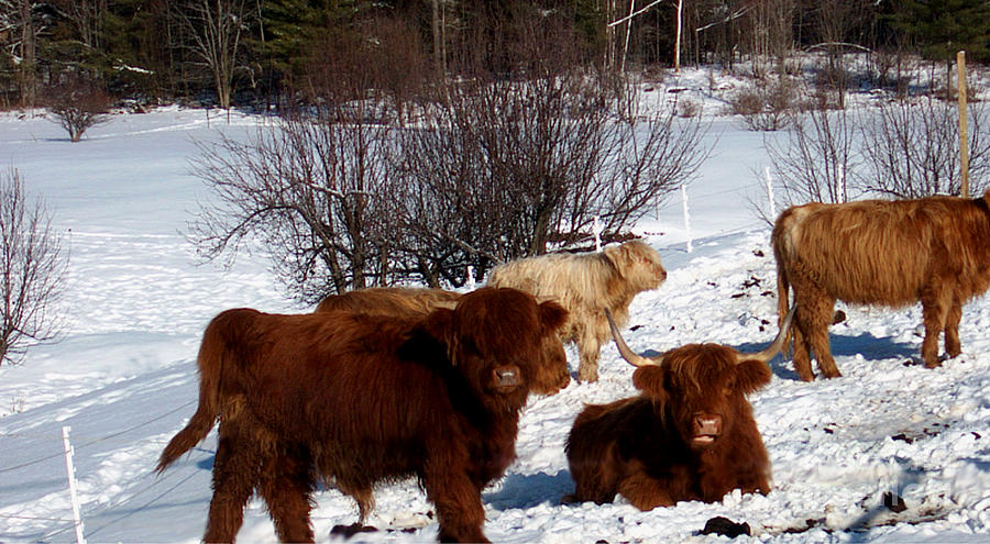 Winter Steer  Photograph  - Winter Steer  Fine Art Print